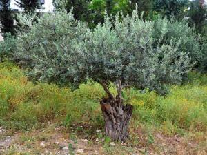 olivetree_nazvillage_fjenkins_043010_140t