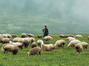shepherd-and-sheep