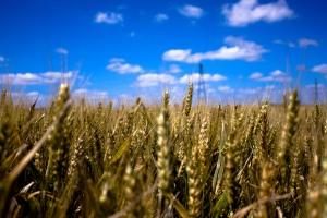 wheat_field_explored