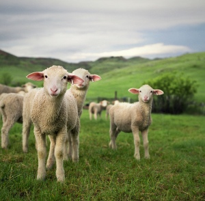 beautiful-sheep5